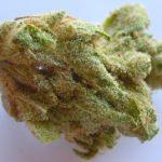 buy mimosa strain seeds
