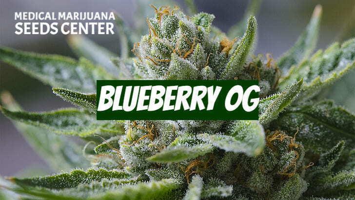 blueberry og seeds