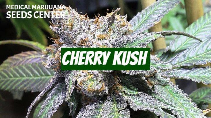 Cherry Kush Seeds