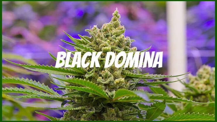 black domina seeds