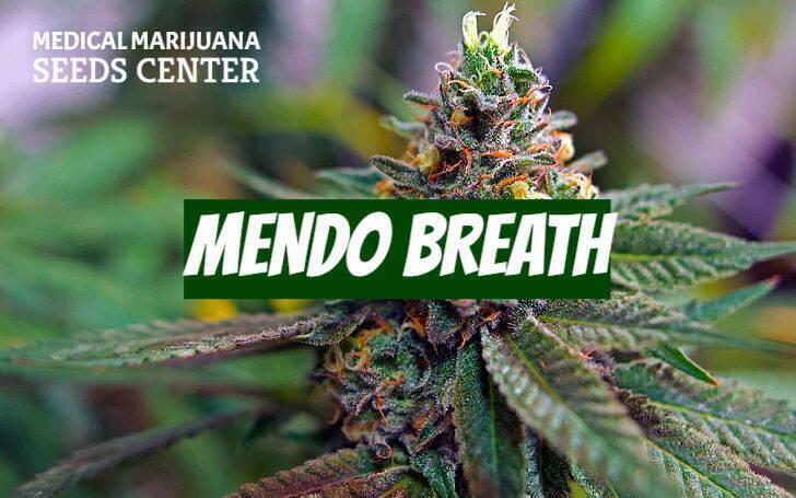 Mendo Breath Feminized Seeds