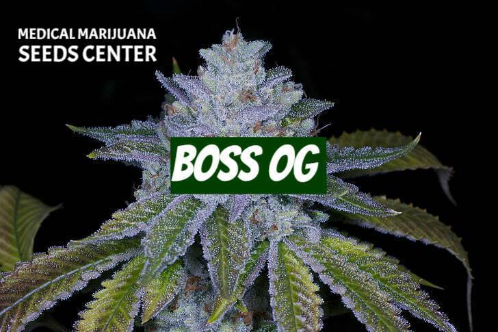 Boss OG Seeds