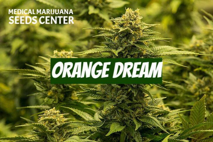 Orange Dream Seeds