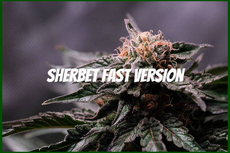 sherbet strain seeds