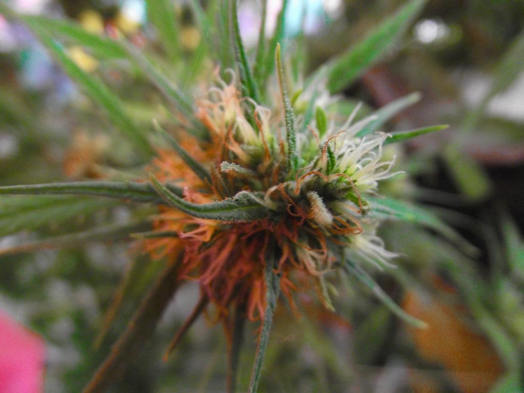 Red Diesel Seeds